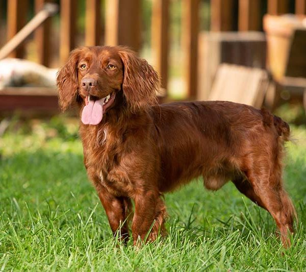 Adult Trained Dogs Copper