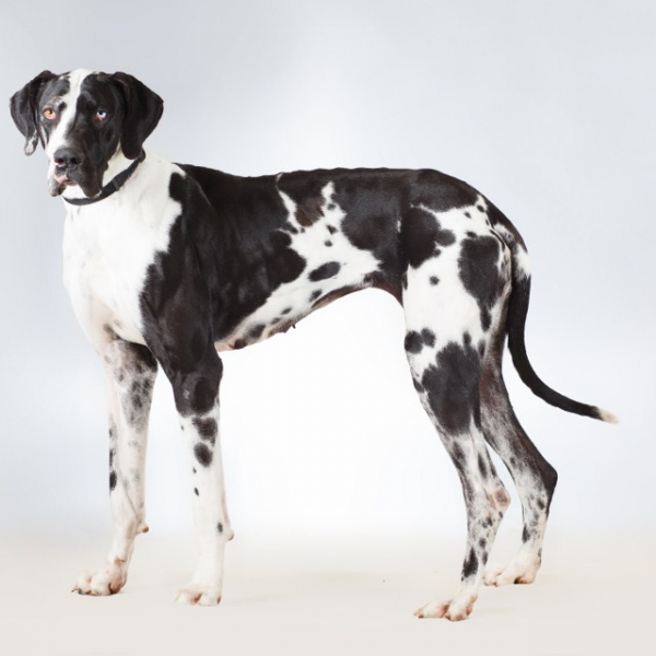 Sold Adult Trained Dog Delilah