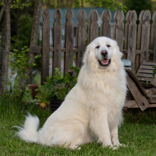 Adult Trained Dog Elvis