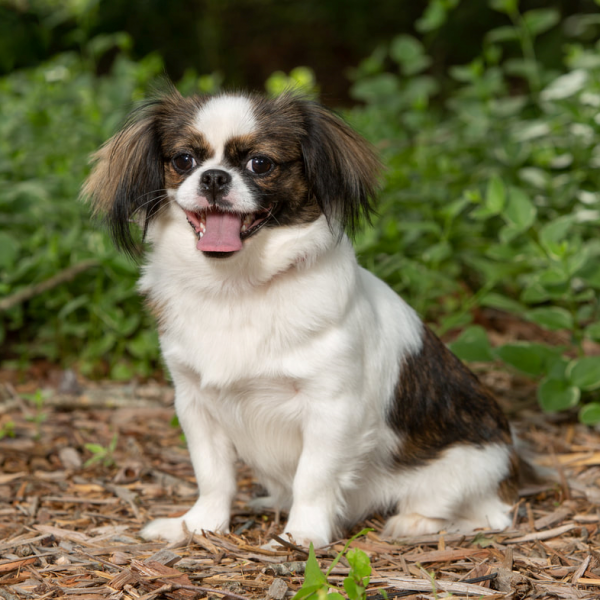 Adult Trained Dog Little Bit