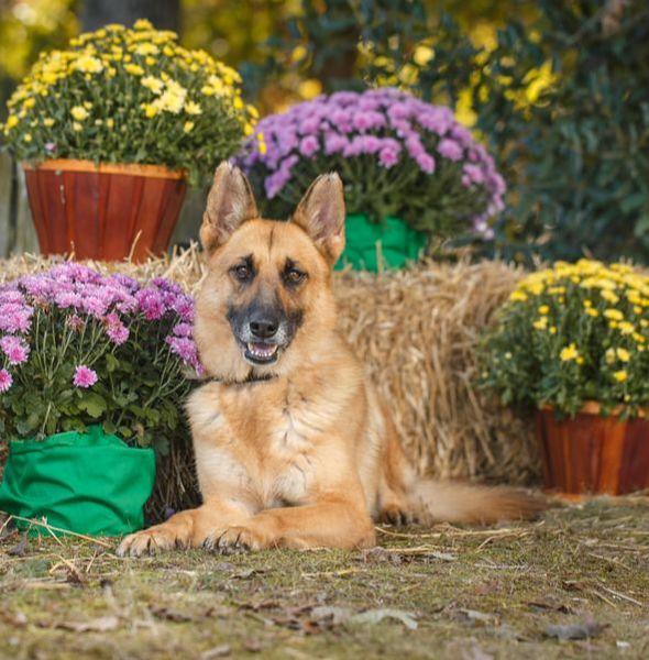 Adult Trained Dog Stella