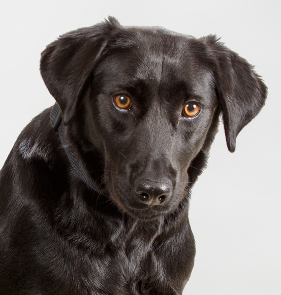 Sold Adult Trained Dog Maggie